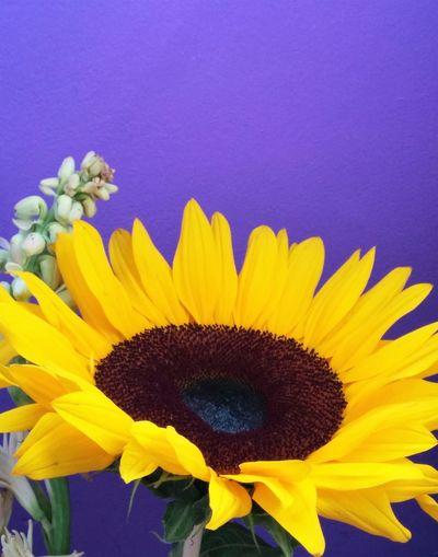 Close-up of sunflower against blue sky