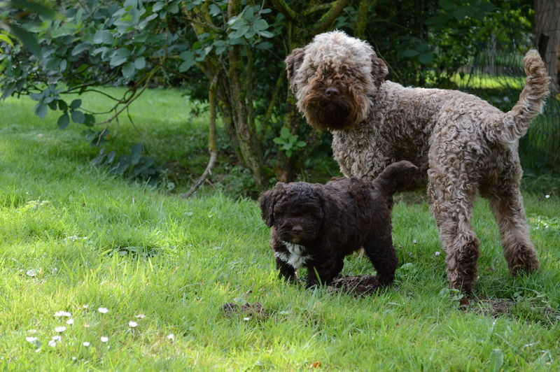 Animal Themes Grass Lagotto Romagnolo Lagottolove No People Outdoors Pup Love Young Animal