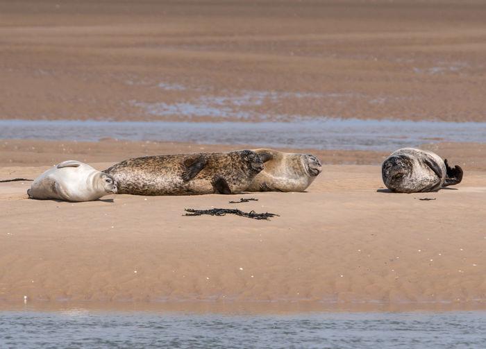 Four grey seals