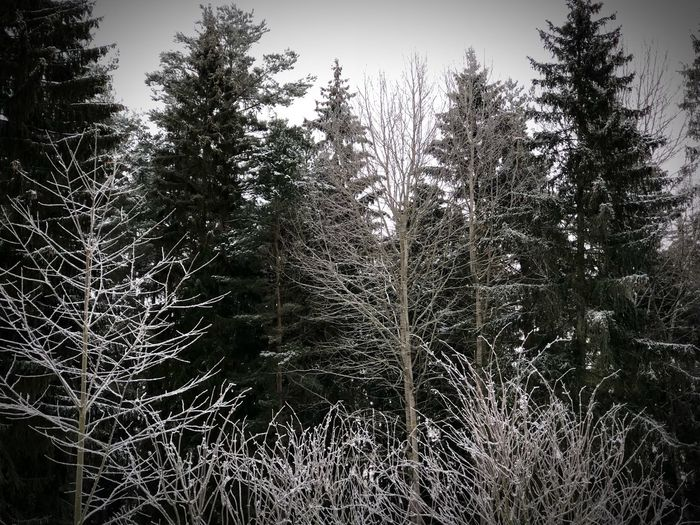 The swedish winter forest EyeEm Snow Winter Growth Nature Tree Tranquility No People Beauty In Nature Plant Outdoors Tranquil Scene Day Sky Shades Of Winter