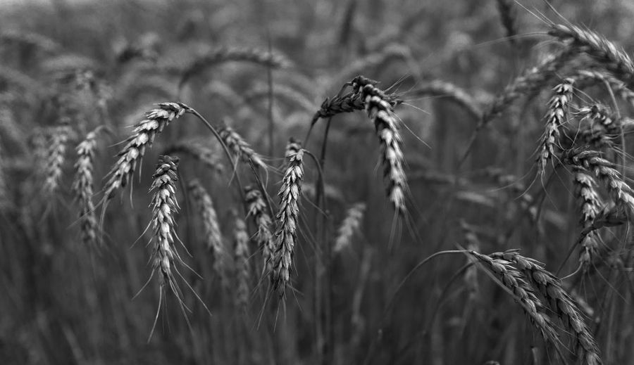 Russia, Krasnodar region, agriculture, wheat Abundance Arrangement Backgrounds Botany Brown Close Up Close-up Cold Day Detail Focus On Foreground Full Frame Growing Growth Large Group Of Objects No People Outdoors Selective Focus Side By Side Springtime