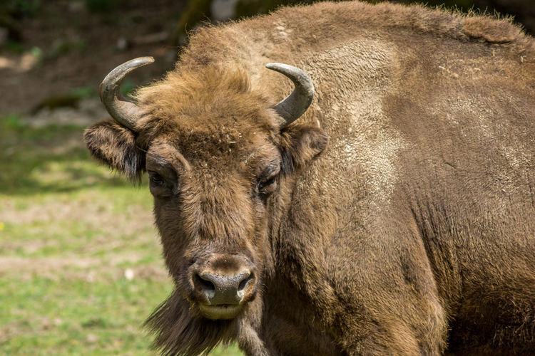 Portrait of european bison standing on field