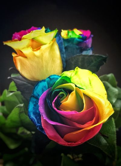 Rainbow Roses Rose Collection Roses Are Rainbow Roses Flower Collection Flower Photography Flower Power Flowers,Plants & Garden Multi Colored Colorful Flowers Rainbow Colors Blooming Color Explosion Color