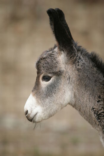 Animal Themes Animals In The Wild Close-up Day Domestic Animals Donkey Focus On Foreground Livestock Mammal Nature No People One Animal Outdoors Portrait Young Mammal