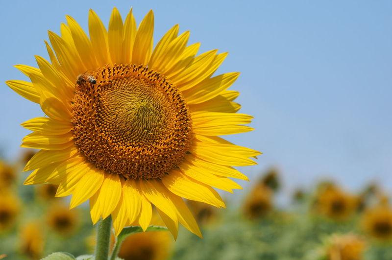 ひまわり ひまわり畑 柳川ひまわり園 EyeEm Eyeemphotography EyeEm Best Shots 青空 Skyblue 夏 Summer ミツバチ 😚 蜂