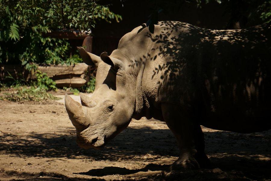 Omaha Zoo Rhino
