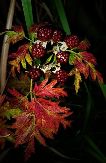 Branch Leaf Red