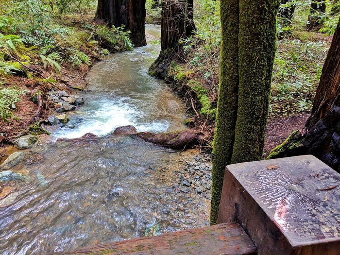 Wooden railing overlook of stream curving and cutting through redwood trees. Redwood Trails Armstrong Redwoods Tumbling Rumbling Ripples Blue Clear Bark Soil Dirt Wooden Railing Post Overlook Above Over Water Tree Stream Growing Woods Flowing Water Flowing Young Plant Moss Tranquility Tranquil Scene Countryside Waterfall Stream - Flowing Water Rock Growth