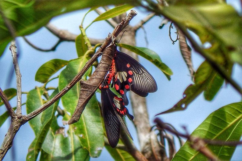 Low Angle View Of Butterflies Mating On Tree