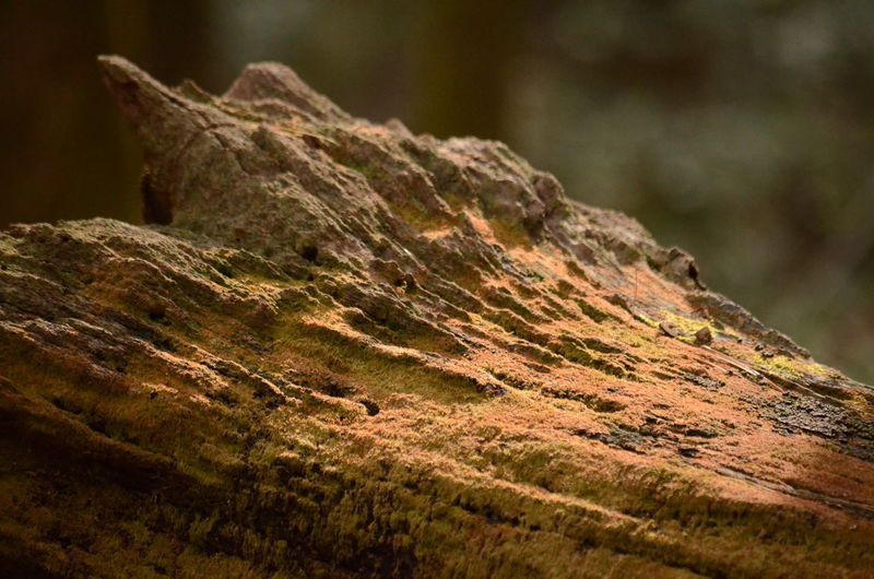 Selective Focus Textured  Close-up No People Day Rough Moss Nature Focus On Foreground Outdoors Tree Plant Tree Trunk Rusty Trunk Rock Wood - Material Pattern Brown Growth Bark Lichen