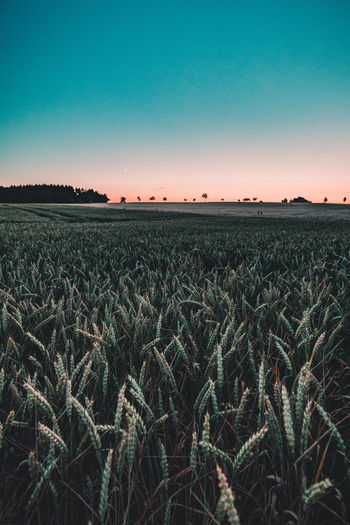 Sundowner Agriculture Beauty In Nature Clear Sky Day Distance Field Growth Landscape Last Light Nature No People Outdoors Plant Rural Scene Scenics Sky Sunset Tranquil Scene Tranquility Tree Turquoise