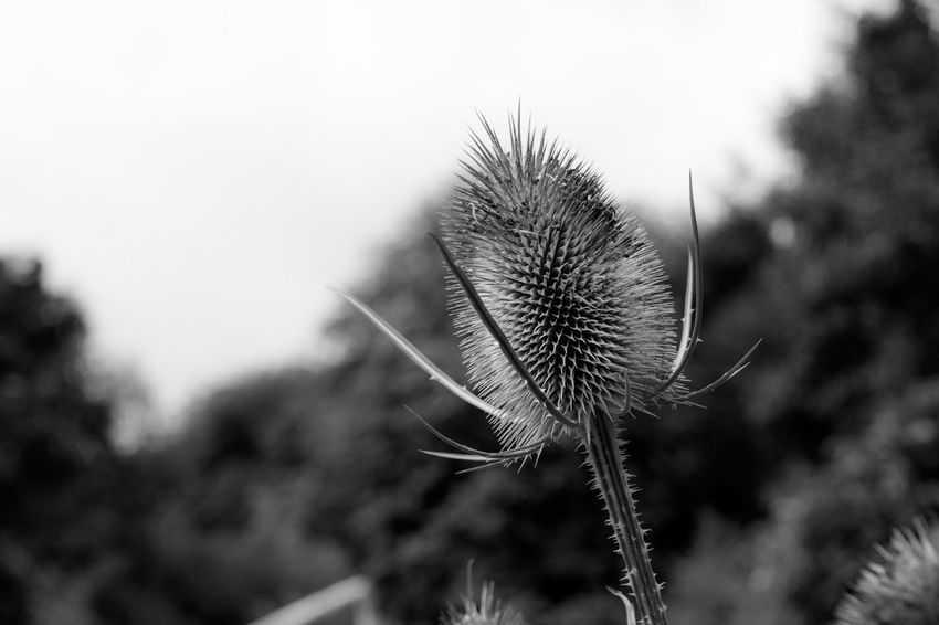 Teasing Teasle Focus On Foreground Close-up Growth Stem Plant Nature Sharp Thorn Fragility Softness Spiked Botany Day Beauty In Nature Uncultivated Thistle Flower New Life Outdoors Freshness
