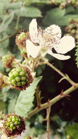 Grün Blüte Weiss Flower Unreif No People Nature Natur Beauty In Nature Dornen