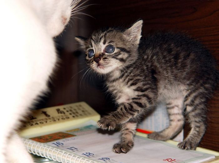 David and Goliath. Pets Domestic Domestic Cat Mammal Domestic Animals Animal Cat Feline One Animal Indoors  Vertebrate Kitten Whisker No People Young Animal Close-up Home Interior Publication High Angle View Tabby David And Goliath Play Fight