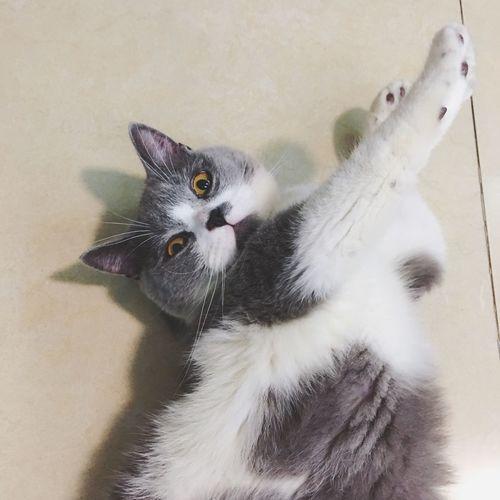看什么看 没见过伸懒腰吗 Cute EyeEm Selects Animal Themes Animal Vertebrate One Animal Pets Mammal Cat No People Looking At Camera
