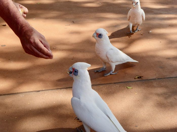 in line please! Australian Birds In The Wild Corella Cockatoos Pet Portraits Animal Wildlife Animals In The Wild Beak Bird Cockatoo Feeding The Cockatoos Human Hand In Western Australia In Line Please Nature One Person Parrot White Color