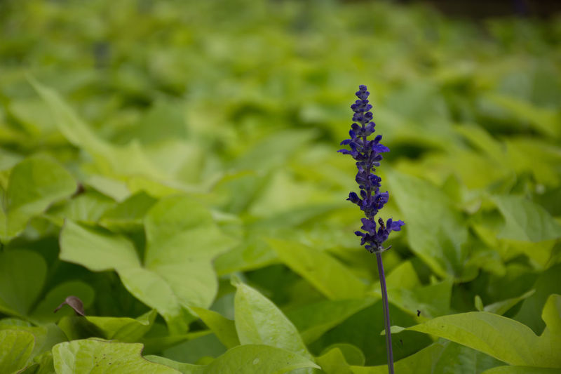 Plant Plant Part Vulnerability  Close-up Nature Green Color Day No People Fragility Purple Focus On Foreground Beauty In Nature Inflorescence Outdoors Freshness Leaf Flower Head Flower Flowering Plant Growth