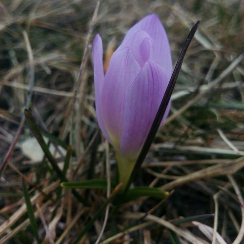 Purple Nature Beauty In Nature Flower Plant Crocus