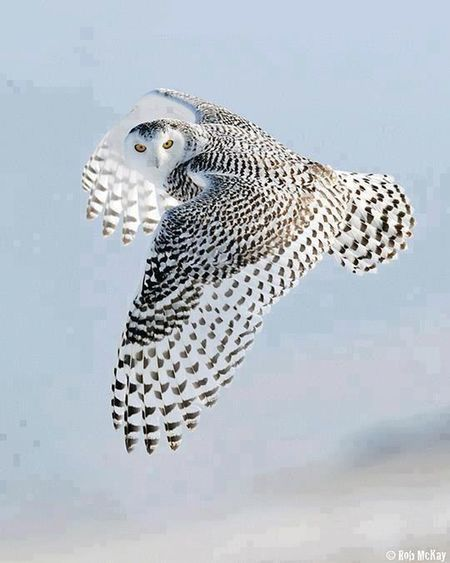 Air Magestic Bird Beauty In Nature Amazing Perfect Timing Mid-air Wing Outdoors Fly Spread Wings Animals In The Wild Nature Owl Shot Magnificent Awesome Sky Bird Flying Animal Wildlife Wings Of The Sky... No People Wings