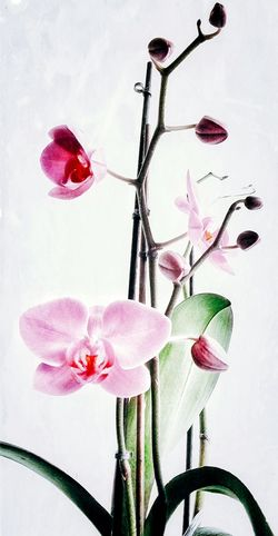 Orchid Painting Like Flower Fragility Pink Color Beauty In Nature Close-up In Bloom Orchidporn Artistic Fantasy Edits Check This Out Photography Hello World EyeEm Gallery EyeEm Best Shots Popular Photos Photoart EyeEm Best Edits EyeEm Nature Lover Full Frame Vibrant Color