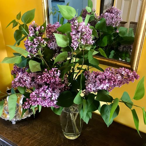 Lilacs from the garben Flower Flowering Plant Plant Nature Beauty In Nature No People Freshness