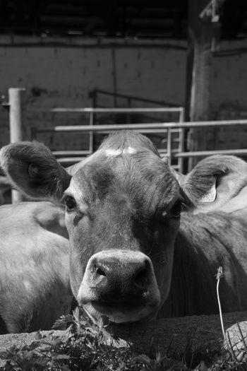 Portrait of cow in pen