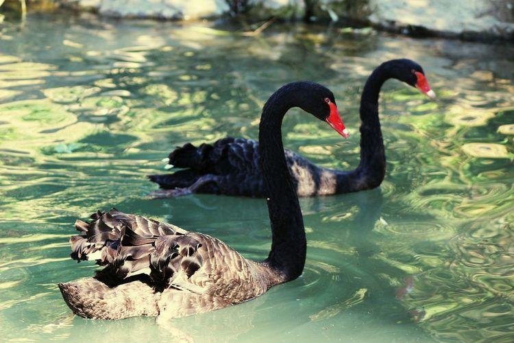 Zoo Taking Photos Enjoying Life Relaxing Animals Nature Cignonero Volatile