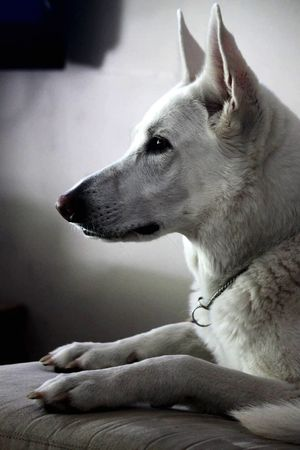 Life is just soo ruff. German Shepherd White Dog Purebred Beautiful Magestic White German Shepherd