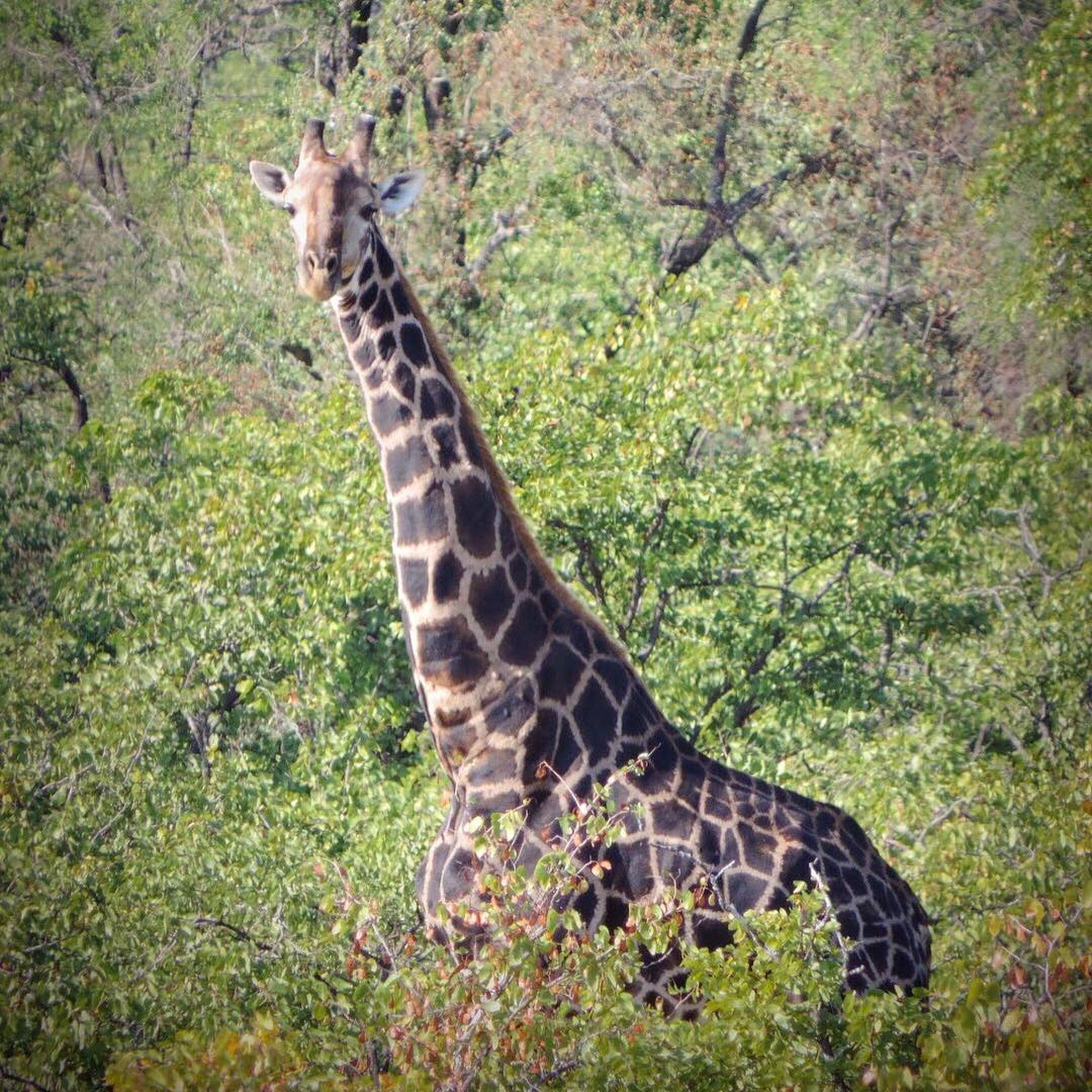 animal wildlife, animals in the wild, animal, animal themes, one animal, plant, mammal, nature, giraffe, safari, no people, tree, day, vertebrate, land, animal markings, natural pattern, grass, forest, animal neck, outdoors, herbivorous