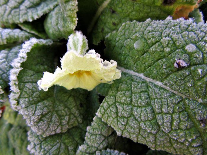 Frozen primrose