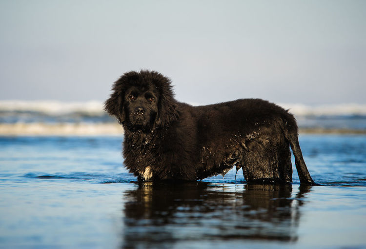 Side View Portrait Of Newfoundland Dog In Sea Against Sky