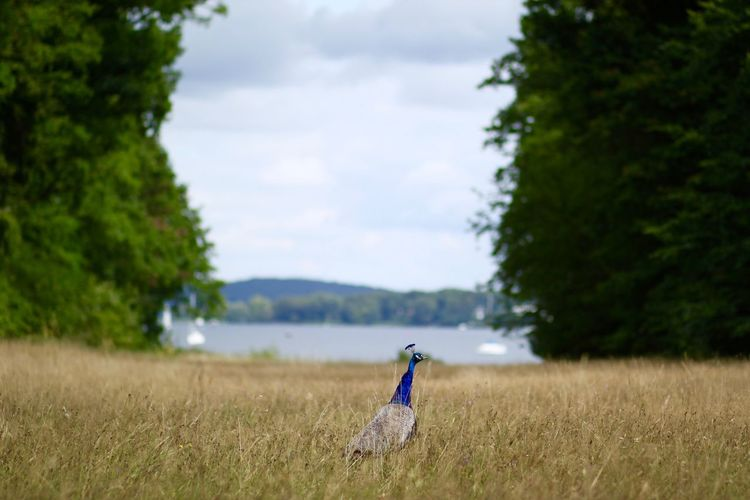 Peacock on field against sky