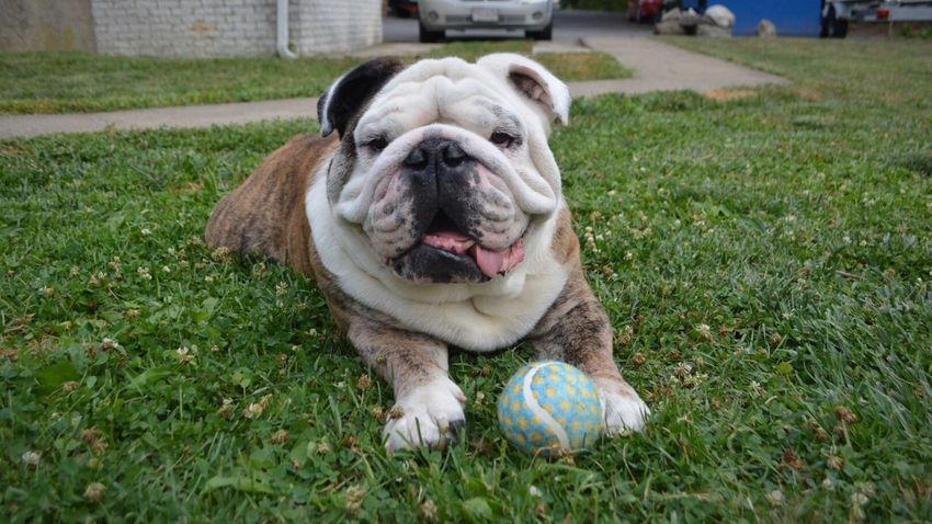 Bulldog English Bulldog EnglishBulldog Bully Bullylove Bullylife Dog Dogs Dogslife Dogs Of EyeEm Doggy Pets Domestic Animals One Animal Smile Dog Smile Happy Happy Dog Ball Animal Pet Puppy