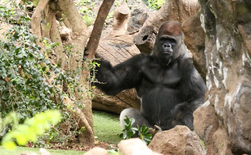 Affe Affen Animal Themes Animals In The Wild Gorilla Gorillas Mammal Monkey Monkeys Nature One Animal Outdoors Plant Sitting Tree Wildlife Zoo Showcase April