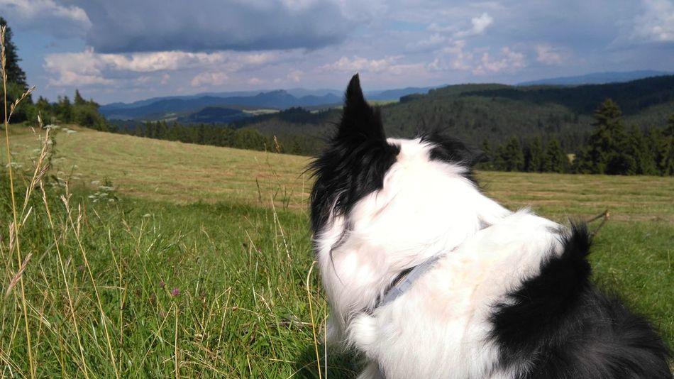Polska Border Collie Cloud - Sky Day Dog Domestic Animals Field Grass Landscape Mammal Mountain Mountains Nature No People One Animal Outdoors Pets Pieniny Sky Trzy Korony