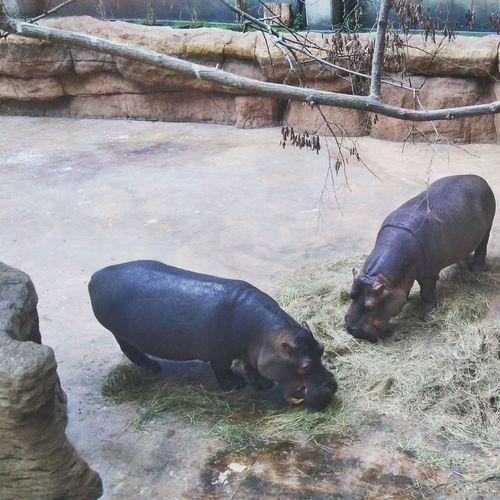 Zoo Animals  Zoo Zooanimals Hipopotam Hipopotamó Hippo Wrocław