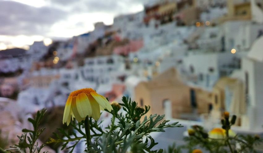|| Nature Theories || Santorini, Greece. TheFoneFanatic Nokia  Nokia808 Vacations Mobilephotography PhonePhotography Bokeh Colorful Flower Flower Head City Winter Cityscape Close-up Blooming Petal