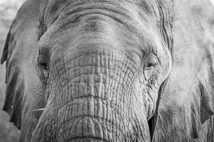 Close up of an African elephant in black and white in the Welgevonden game reserve, South Africa. Nature Animal Animals In The Wild Wildlife Wildlife & Nature Nature Photography Africa African Safari Safari Animals Safari Beauty In Nature Travel Beautiful Nature Wildlife Photography Animals Animal Themes African Loxodonta Africana Elephant African Elephant Big Five Endangered Species Mammal Animal Wildlife Kruger Park