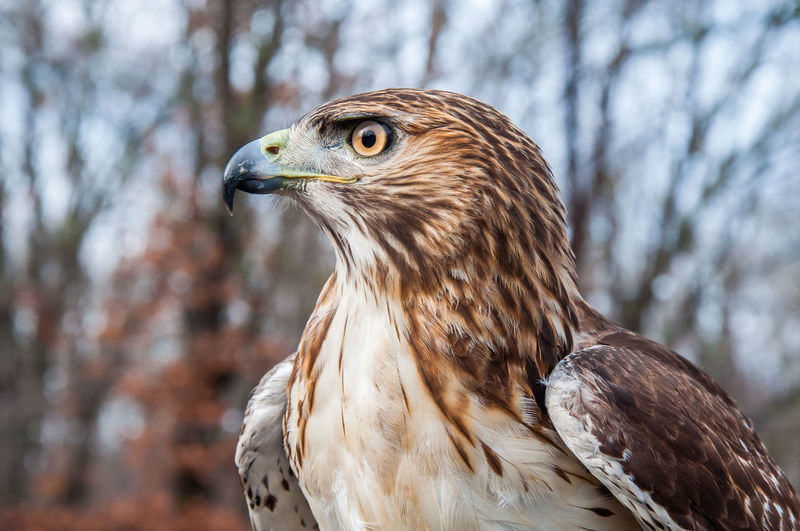 Animal Themes Animal Wildlife Animals In The Wild Bird Bird Of Prey Close-up Day Eyes Focus On Foreground Hawk Nature No People One Animal Outdoors Red Tailed Hawk