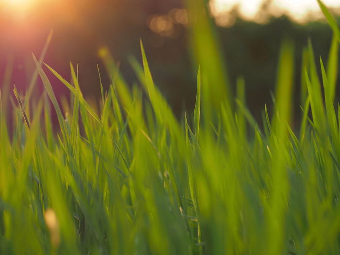 Cereal Plant Close-up Field Freshness Golden Hour Grass Green Color Growth Nature Plant Shallow Shallow Depth Of Field Shallow DOF Shallow Focus Warm Themes Warmth Sommergefühle EyeEm Selects Crafted Beauty
