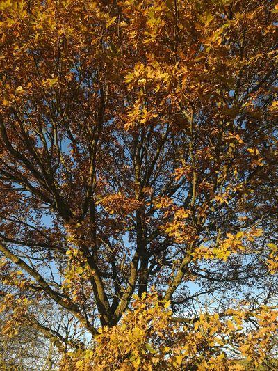 Golden Leaves Winter Sunshine Golden Oak Tree