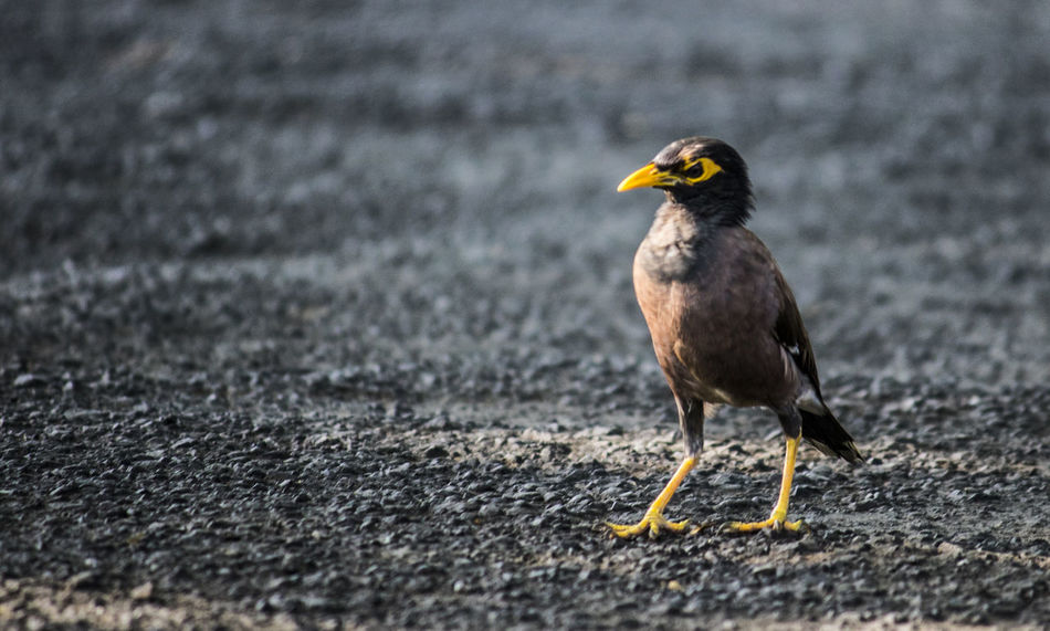 Indian Mynah Bird Photography Birds Of EyeEm  Birdwatching Common Mynah India Wildlife Photography Animal Themes Animal Wildlife Animals In The Wild Bird Birds Birds_collection Close-up Day Indian Birds Mynah Nature No People One Animal Outdoors Wildlife