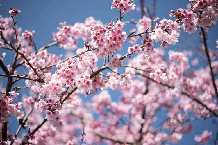 BEAUTIFUL SAKURA AND BLUESKY Japan OSAKA Sakura Backgrounds Beauty In Nature Beauty In Nature Blossom Bluesky Branch Cold Temperature Day Flower Flower Head Flowering Plant Fresh Growth Nature No People Outdoors Petal Pink Color Plant Sky Springtime Tree
