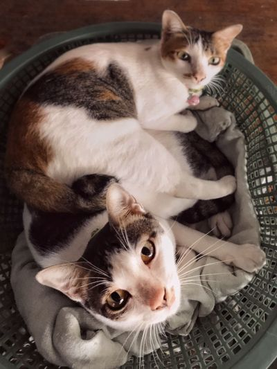 EyeEm Selects Pets Domestic Cat Feline Domestic Cat Mammal Domestic Animals One Animal Indoors  Relaxation Looking At Camera High Angle View Portrait Animal Themes Animal Vertebrate No People Whisker