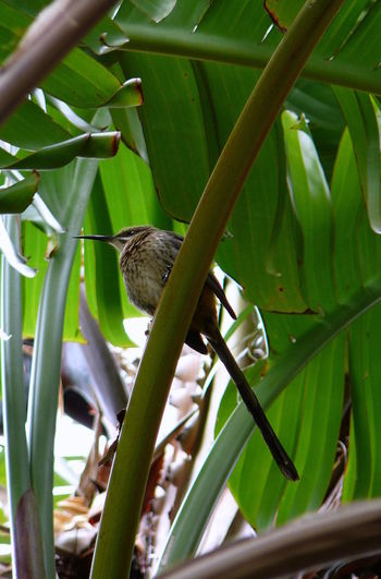 Cape Sugar Bird ~ Animal Themes Animal Wildlife Animals In The Wild Bird Close-up Day Feather  Green Color Long Beak Long Tail Nature No People One Animal Outdoors Perching Sparrow Sugarbird Tree Watching