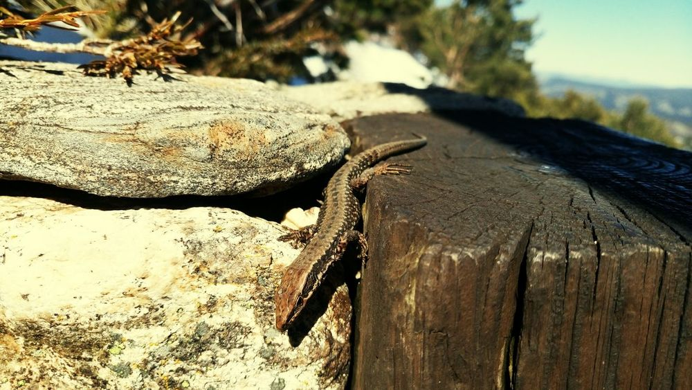 Lizard Snow Montana Walk In The Mountains Walk In The Snow Beauty In Nature Nature Animal One Animal Animal Themes Nature_collection Nature Photography Naturelovers
