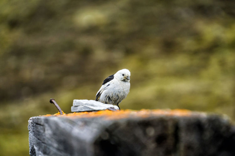 Snow bunting Bird Vertebrate Animals In The Wild One Animal Animal Wildlife Perching No People Day Selective Focus Close-up Focus On Foreground Wood - Material Nature Outdoors Rock Solid Full Length Bark Snow Bunting Plectrophenax Nivalis Spitsbergen Svalbard  Arctic