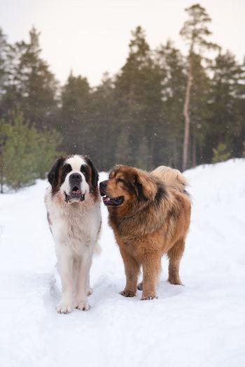 Saint bernard and tibetan mastiff dogs in winter day