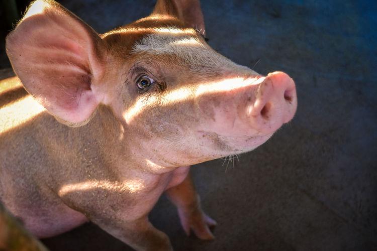 High angle close-up of pig