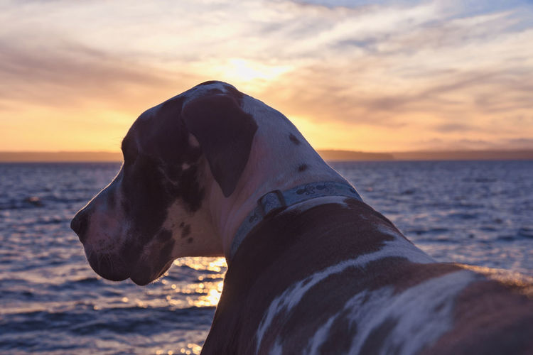 Close-up of dog by sea against sky during sunset